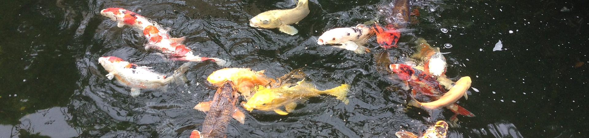 Pond services maintenance cleaning repairs for Koi pond size requirements